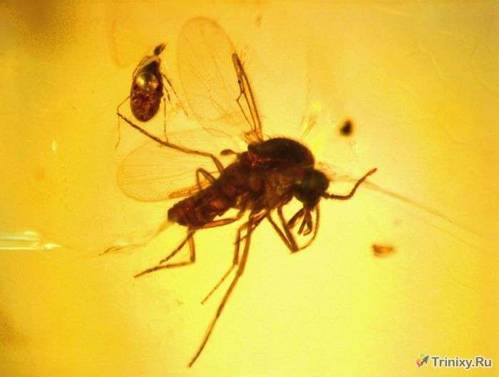 Доісторичні комахи, ідеально збереглися до наших днів (34 фото)