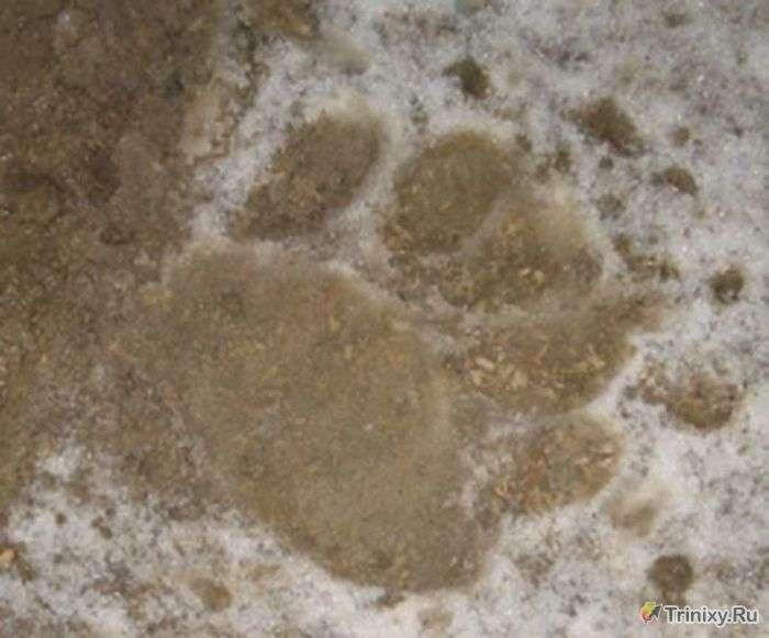 Ведмідь прийшов перекусити борщем (5 фото)