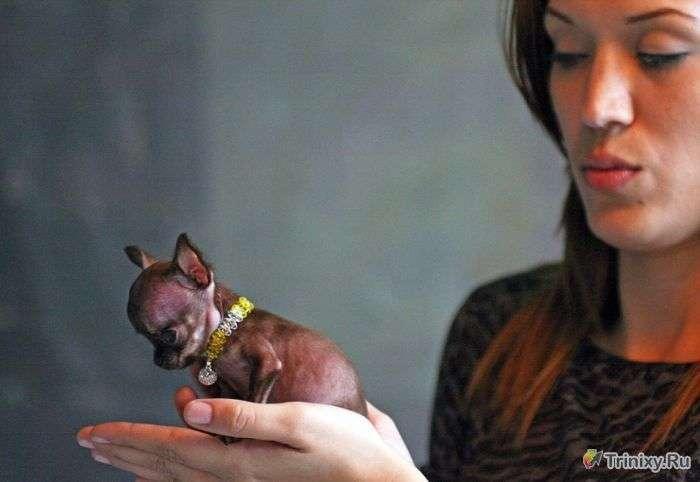 Сама крихітна собака у світі (10 фото)