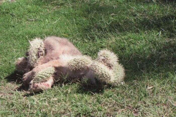 Порятунок койота від кактуса (5 фото)