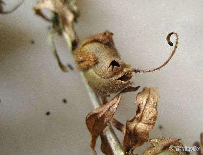 Моторошний відцвілі квітка левиний зів (7 фото)
