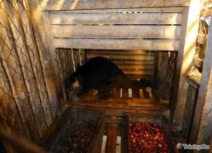 В яких умовах живуть незвичайні звірята - мусанги (10 фото)
