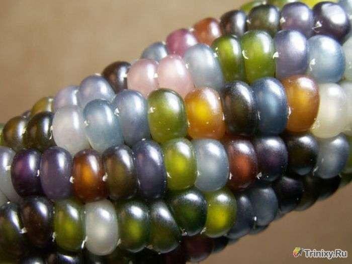 Незвичайний сорт кукурудзи (11 фото)