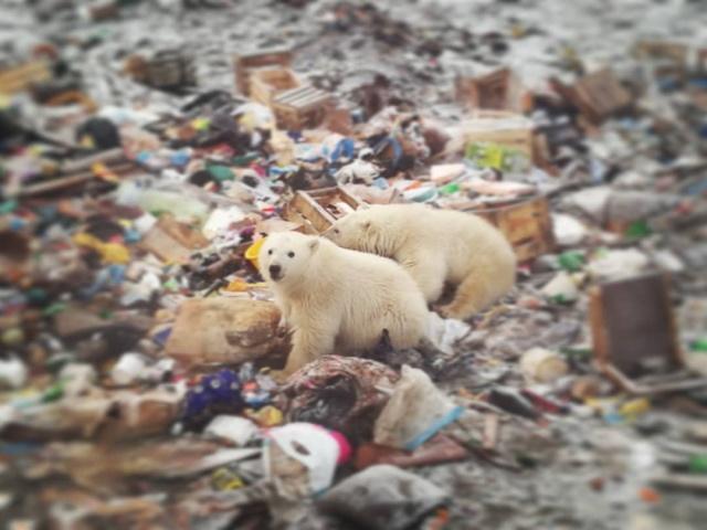 Эти фотографии шокировали Европу — нашествие медведей в Архангельской области. мир животных